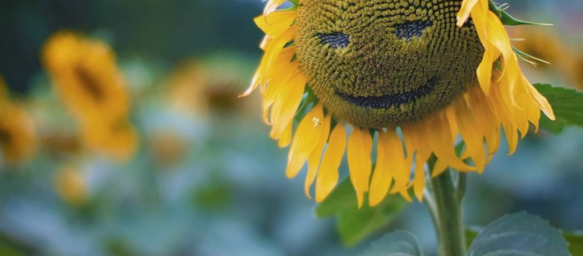 sunflowers-withered-sunflower-smiling-face-bokeh-leaves-flowers-nature-field-1280x1024